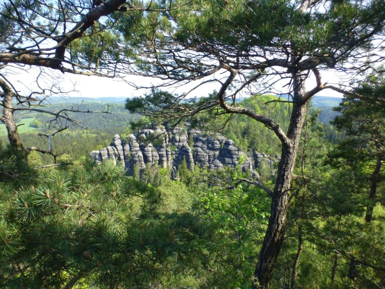 Nationalpark Sächsische Schweiz Riffkiefern-Urwald Copyright Foto: Kaj Kinzel