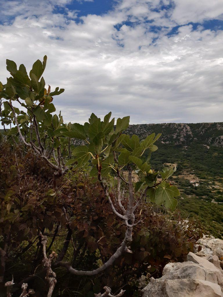 Feigenbaum auf dem Wanderweg hoch zum Obzova©Foto: Regina Hösl