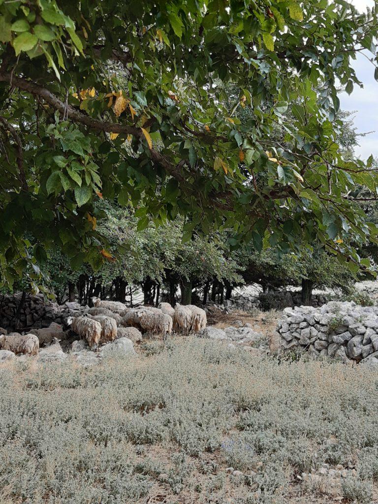 Zottelige Schafe auf der Hochebene des Obzova©Foto: Regina Hösl